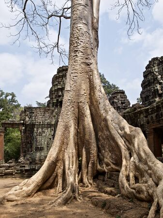 Huge trees with a powerful root system growing in the temple complex of Angkor Wat, Cambodia Фото со стока - 131679205