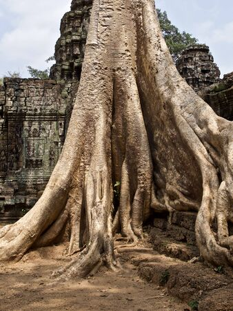 Huge trees with a powerful root system growing in the temple complex of Angkor Wat, Cambodia