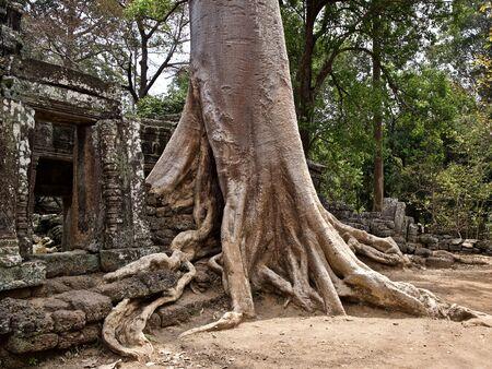 Enormes árboles con un poderoso sistema de raíces que crecen en el complejo de templos de Angkor Wat, Camboya Foto de archivo