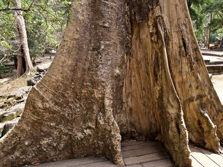 Huge trees with a powerful root system growing in the temple complex of Angkor Wat, Cambodia Фото со стока - 131679217