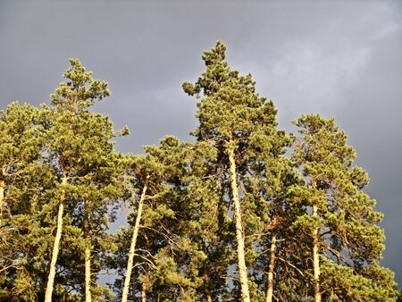 Pine forest in the rays of the setting sun on a background of gloomy clouds, Russia