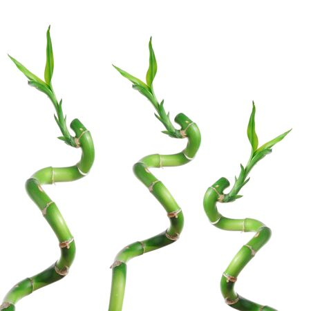 Lucky bamboo isolated on white Stock Photo - 6284023