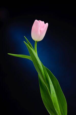 Pink tulip over dark background photo