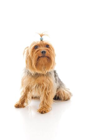 yorke: Dog. Isolated over white.