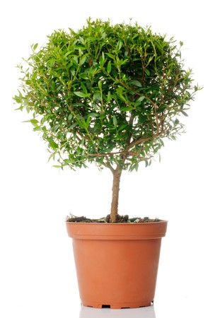small tree: Small domestic tree isolated over white