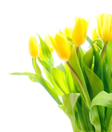 Bouquet of the fresh tulips over white Stock Photo - 8309530