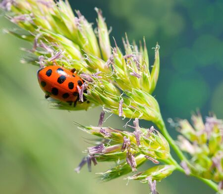 In a sunny day the ladybird creeps on a stalk photo