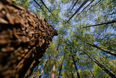 canopy: looking up in forest