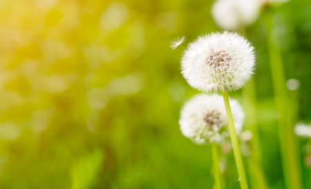 Dandelion on fresh green background photo
