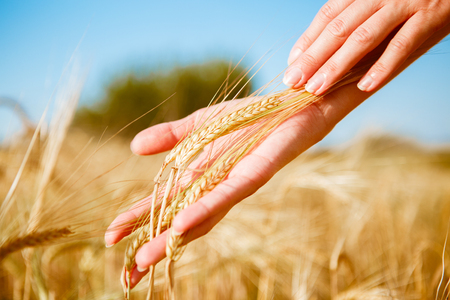 Toned image of human hands with rye spikelets in field on blurred background