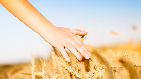 Photo of wheat field and humans hand