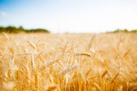 Photo of ripe ears of wheat, sky, forest