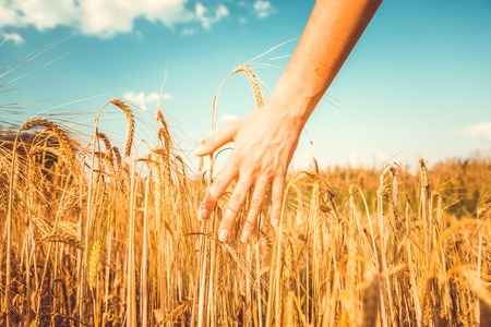 Vintage picture of mans hand and rye spikelets Stock Photo
