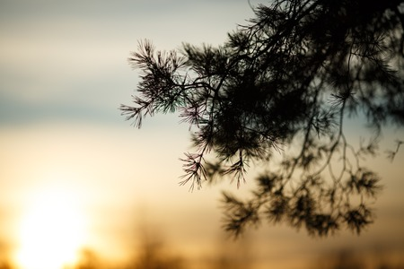 Image of branch of spruce on blurred background of winter