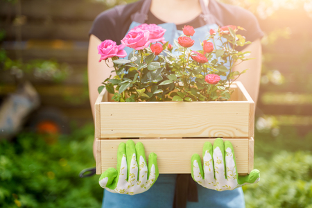 Picture of woman in gloves with box with roses standing in garden Фото со стока