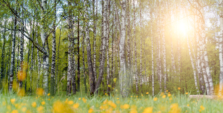 Image of birch forest with yellow flowers