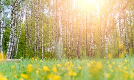 Photo of birch forest and yellow flowers in afternoon. Imagens - 124796050
