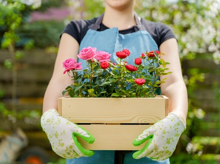 Photo of woman in gloves with box with roses standing in garden in afternoon Stock Photo