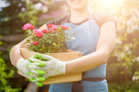 Picture of unrecognizable woman in gloves with box with roses standing in garden in afternoon Stock Photo