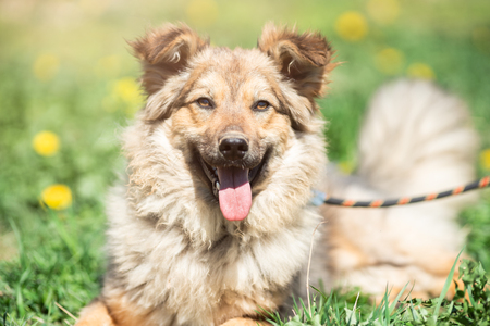 Photo of ginger dog with open mouth, eyes closed, with leash around its neck, sitting on green lawn with yellow flowers on summer day. Blurred background.