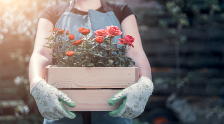 Photo of girl in gloves with box with roses standing in garden