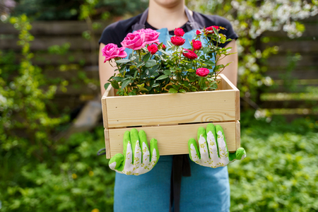 Photo of young woman in gloves with box with roses standing in garden