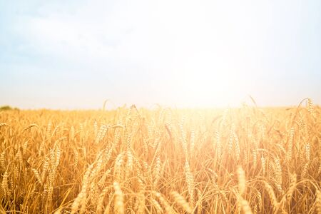 Image of wheat field with blue sky, summer day.