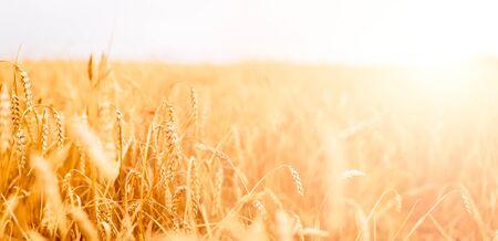 Foto van tarweveld met blauwe lucht, zomerdag.