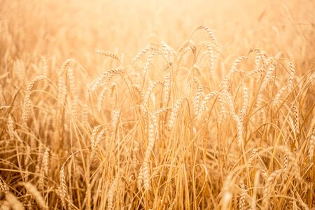 Close-up image of wheat field on autumn.