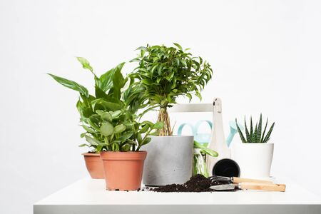 Indoor plants, cacti in pots with scoop and rake on empty gray background Stock Photo