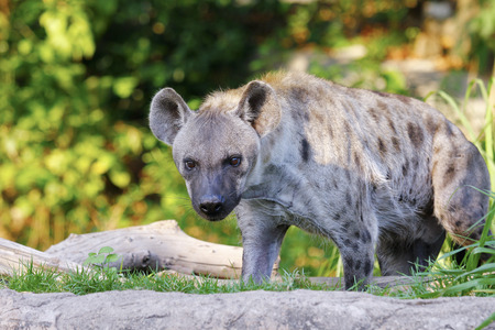 spotted: Spotted Hyena portrait