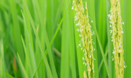 crop  stalks: rice flower in the paddy field Stock Photo