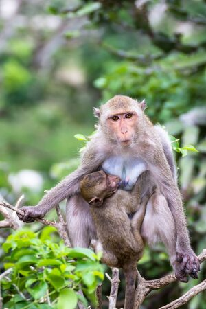 breastfeed: baby macaque suck up milk from, mother, sit on branch