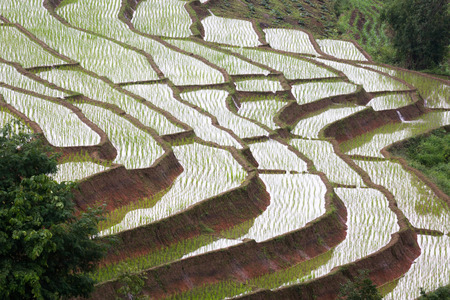 rice terrace: The rice terrace in the northern Thailand, in rainy season