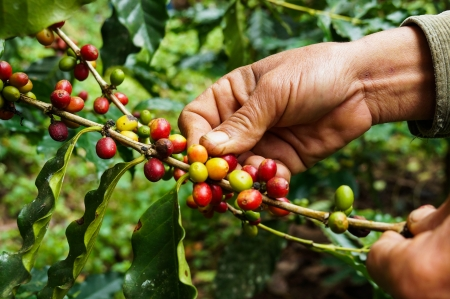 coffee tree: Picking coffee Stock Photo