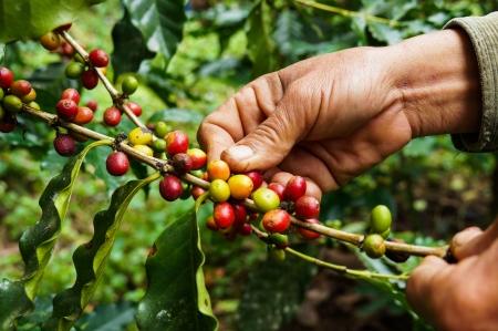 bönor: Plockning kaffe Stockfoto