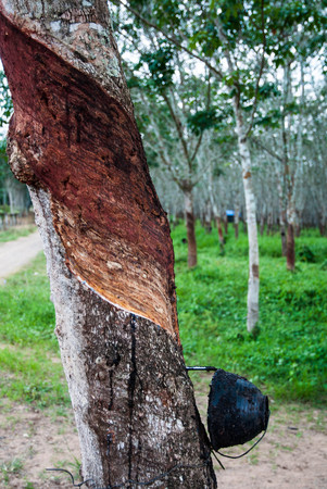 Rubber tree photo