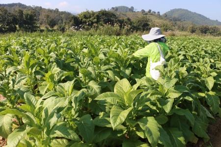 tabaco: El tabaco de campo