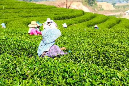 Harvesting green tea photo