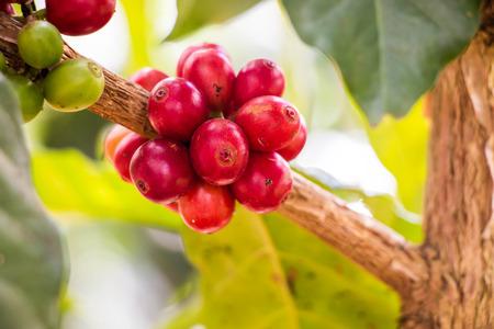 Chicco di caffè su albero Archivio Fotografico - 34538771