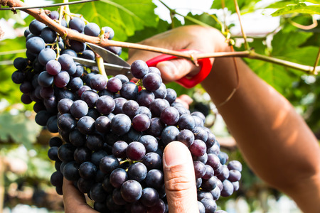 purple red grapes: Cutting grapes on tree Stock Photo