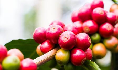 Chicco di caffè su albero Archivio Fotografico - 34539214