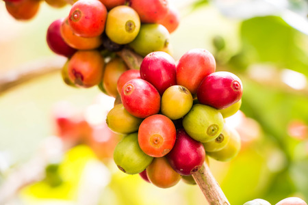 bush bean: Coffee bean on tree Stock Photo
