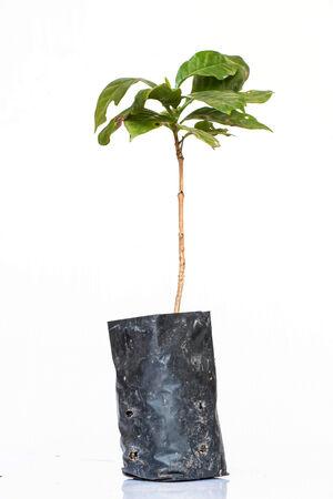 arbol de cafe: �rbol de caf� en el fondo blanco