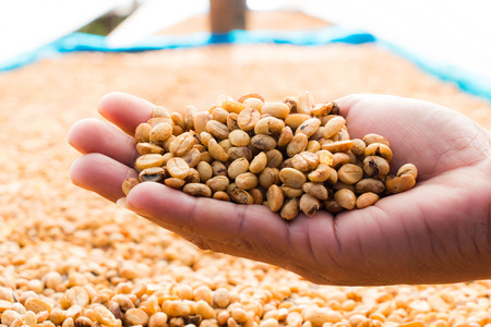 unroasted: Coffee bean on hand