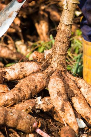 Cutting cassava root 스톡 콘텐츠