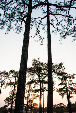 nature silhouette: Pine tree in the nature,Silhouette
