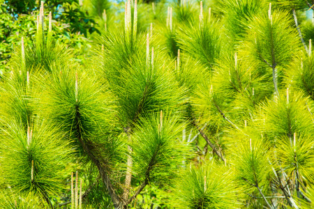 Green leaf pine tree Stock Photo