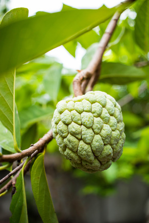 custard apple: Custard apple on tree Stock Photo