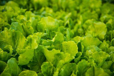 green vegetable: Green vegetable background